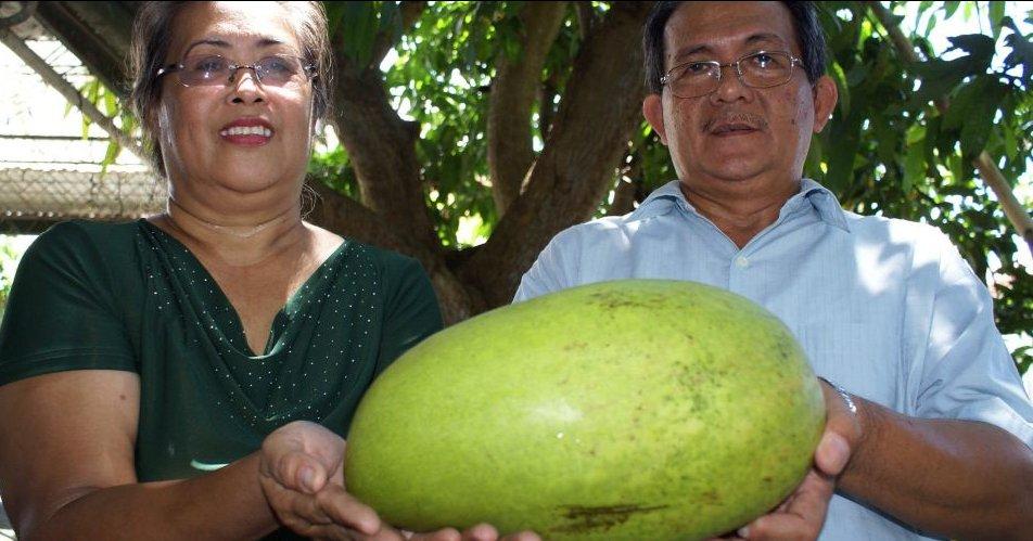 Casal filipino exibe manga de 3,5 quilos que teria sido plantada no quintal da casa. Agora, a dupla acima quer incluir a fruta no livro dos recordes (Foto UOl).